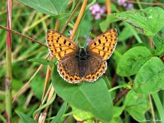 Butterfly 1447