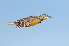 Western Meadowlark (bmse) Tags: western meadowlark southern california bmse salah baazizi wingsinmotion canon 7d2 400mm f56 l flight flying