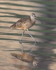 Long billed curlew strolls the wet sand (Victoria Morrow) Tags: