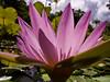 Pink Lotus Flower (pxl350) Tags: grün mauritius indische dof pink flower blume nelumbonucifera green sunny lotus lotosblume rosarot