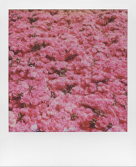 May there always be pink in your life (ale2000) Tags: polaroid impossible analog analogue instant instantphotography sx70 600 square frame pink rosa flowers fiori fiorellini nature bloom blooming spring springtime