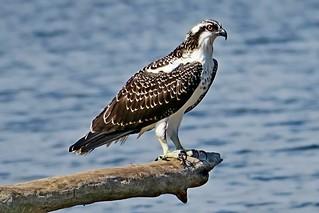 Osprey, Lake Sammamish State Park, Issaquah, WA 8/17/17