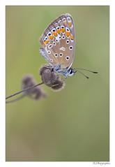 Azuré Aout 2017-16 (JG Photographies) Tags: europe france auvergne allier papillon butterfly macro insecte nature azuré jgphotographies canon7dmarkii