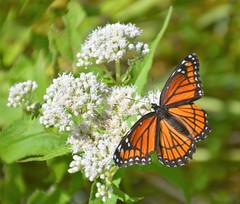 Viceroy Butterfly at Sucker Creek Preserve (rabidscottsman) Tags: scotthendersonphotography mn minnesota detroitlakesminnesota tuesday majestic butterfly nature wildlife viceroybutterfly viceroy roadtrip flora fauna exploreminnesota