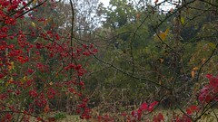 Red and Wet (Daphne-8) Tags: berries red beeren rot rouge nature rain regen green grün natur naturaleza colours farben colores