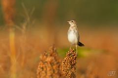 Cisticole des joncs (Tifaeris) Tags: ariège cisticolajuncidis cisticoledesjoncs cisticolidés mazères passériformes zittingcisticola bird oiseau