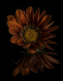 Reflecting On A Gazinia Blossom