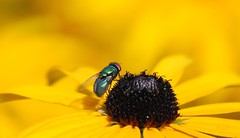 Green Bottle Fly (hub en gerie) Tags: fly yellow bloem vlieg nature garden tuin geel natuur zomer summer greenbottlefly groenevleesvlieg explore allnaturesparadise platinumheartaward