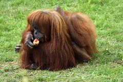 Orang-Utan (Michael Döring) Tags: gelsenkirchen bismarck zoomerlebniswelt zoo orangutan afs200500mm56e d800 michaeldöring