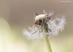 Blow away your fears like dandelion seeds (elizabetheastphotos) Tags: dandelion weed