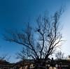 Sacred Tree(신목) (golbenge (골뱅이)) Tags: andong hahoefolkvillage panorama sacredtree samsindangsinmok zelkova 느티나무 삼신당신목 안동 파노라마 하회마을