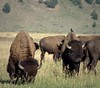 2017-08-18-0246 (mech_rosey) Tags: animal bison country elkranchflats grandtetons location usa wy