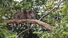 Long-tailed Macaque (whitworth images) Tags: jungle sitting monkey borneo macacafascicularis mammal macaque kinabatanganriver kinabatangan filmclip videoclip animal malaysia movieclip grooming longtailedmacaque wildlife tree outdoors video crabeatingmacaque sukau sabah rainforest wild tailes movie branch