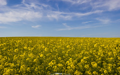 So Long Summer. (5PR1NK5 Photography • Off The Beaten Track Urban) Tags: summer landscape rapeseed field nature blue yellow clouds minimal oil seed flower plant crop copm micheldever hampshire uk may bright happy fine art photography 5pr1nk5