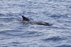 Globicephala macrorhynchus - Calderón tropical o de aleta corta - short-finned pilot whale