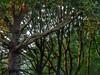Branches (sander_sloots) Tags: platanen bomen licht gordelweg rotterdam trees plane tree light branches platanaceae platanus