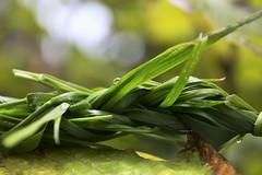 Knot (tiki.thing) Tags: grass macromonday macro connection green nature water waterdrop raindrop rain plait leaf light waterdroplet 7daysofshooting week9 arainyday bokeh plant