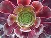 Aeonium arboreum (Thomas Diekel) Tags: aeoniumarboreum pflanze blume nahaufnahme