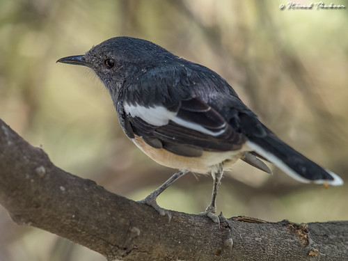 """Oriental Magpie-robin • <a style=""""font-size:0.8em;"""" href=""""http://www.flickr.com/photos/59465790@N04/36843447772/"""" target=""""_blank"""">View on Flickr</a>"""