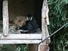 2017 Melbourne Zoo: White Cheeked Gibbon #3 (dominotic) Tags: 2017 melbournezoo royalmelbournezoologicalgardens animals victoria australia primate whitecheekedgibbon