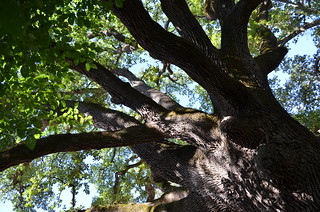 Very old oak tree