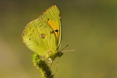 Colias croceus (4) (JoseDelgar) Tags: insecto mariposa 425863088734569 josedelgar naturethroughthelens alittlebeauty sunrays5 coliascroceus