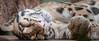 Tusk, Prague #24 (Ignacio Ferre) Tags: gato cat felidae felino felid felines feline felids animal mamífero mammal diente tooth zoo nikon sleeping durmiendo dormir praga prag prague praha czech czechrepublic checoslovaquia chequia repúblicacheca bohemia moravia praguezoo colmillo tusk