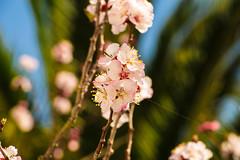 IMG_3511 (Geri Toutin Espinoza) Tags: tree bee spring fruit durazno peach