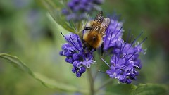 orange and blue (quietpurplehaze07) Tags: caropteris orange blue bee garden macro