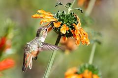 Allen's Hummingbird and Leonotis (Life of David) Tags: california camarillo canon5dmarkiv selasphorussasin usa wildlife allenshummingbird backyard beautiful beauty bird nature world100f