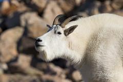 Mountain Goat takes a whiff of the mountain air