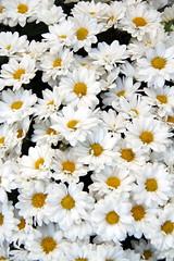 Bouquet de marguerites (Christian Chene Tahiti) Tags: canon 7d paris france reinemarguerite daisy marguerite color couleur fleur flower flores flore nature macro voyage travel blanc pollen orange jaune brillant texture