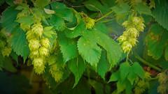 Hops (livewithaview) Tags: pods trellis hops vines green leaves