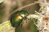 Tansy Beetle - Chrysolina graminis (Prank F) Tags: woodwaltonfen greatfen wildlifetrust huntingdonuk insect macro closeup beetle leaf tansy chrysolinagraminis