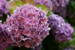 hydrangea (kinaaction) Tags: flora flowers hydrangea sonyilce6000 hortensja pink pinkflower