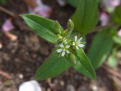 ミミナグサ (nofrills) Tags: white whiteflowers whiteandgreen green weed weeds tiny roadside ミミナグサ chickweed