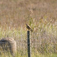 Kestrel (ray 96 blade) Tags: kestrel raptor birdofprey pegwell kent birds springwatch summerwatch