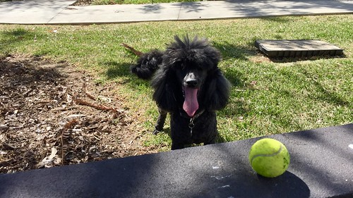 Junior loves tennis balls, Tennyson, Queensland