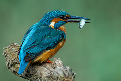 Kingfisher (Simon Stobart) Tags: kingfisher male alcedo atthis fish perched stick northeast england