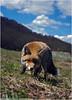 Volpe (Marco Pantanella - www.Paesaggimontani.com) Tags: volpe fox abruzzo wildlife pentax k20d velino sirente pentaxart
