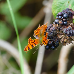 Comma butterfly on bramble (Dave_A_2007) Tags: nymphalidae polygoniacalbum berry bramble butterfly commabutterfly fourfootedbutterfly fruit insect nature plant wildlife stratforduponavon warwickshire england