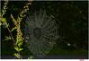back in web (Lutz Koch) Tags: spinnennetz web net spider spinne gegenlicht backlit wet nass feucht elkaypics lutzkoch idsteinerland taunus explore inexplore explored
