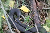 Nice surprise today. (ChristianMoss) Tags: snake adder epping forest nature photography wildlife photo vipera berus
