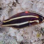 Sixline Soapfish, young juvenile - Grammistes sexlineatus thumbnail
