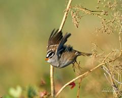 White-crowned Sparrow Takes Flight (dcstep) Tags: aurora colorado unitedstates us dsc1784dxo cherrycreekstatepark urban nature urbannature allrightsreserved copyright2017davidcstephens dxoopticspro1142 sonya9 fe100400mmf4556gmoss fe14xteleconverter sparrow whitecrownedsparrow flight bif birdinflight flying launch