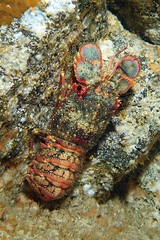 wall crawl (BarryFackler) Tags: honaunau reef ecology marinebiology ocean kona westhawaii tropical invertebrate undersea pacificocean 2017 sealifecamera diver fauna scuba animal sealife coralreef arctidesregalis arthropod lobster regalslipperblobster crustacean ulapapapa decapod benthic aregalis slipperlobster lavatube closeup marineinvertebrate water ecosystem marine organism underwater hawaiiisland sea biology nature polynesia hawaiicounty aquatic konacoast bigisland outdoor diving seacreature marineecology coral sandwichislands zoology creature being marinelife island pacific marineecosystem life barryfackler konadiving hawaiidiving bigislanddiving bay barronfackler honaunaubay hawaii southkona saltwater