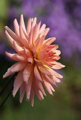 Dahlie (dahlia) (HEN-Magonza) Tags: herbst autumn botanischrgartenmainz mainzbotanicalgardens rheinlandpfalz rhinelandpalatinate germany deutschland dahlie dahlia
