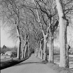 Road trees (davidgarciadorado) Tags: road trees bw 6x6 mediumformat sallessurlhers france rolleiflex planar trix