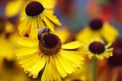 bee on new Helenium variety (HansHolt) Tags: helenium moerheimbeauty sneezeweed zonnekruid sport new variety nieuwe variëteit flower bloem yellow orange geel oranje bee bij macro bokeh canon 6d 100mm canoneos6d canonef100mmf28macrousm
