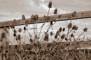 Thistles and fences - HFF